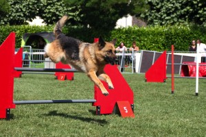 concours_agility_2015-128
